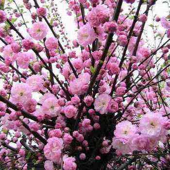 Ornamental almonds: species and varieties, shrub cultivation