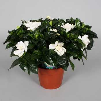 Homemade jasmine: types and varieties, care tips
