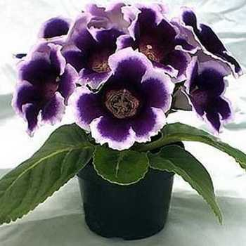 Gloxinia: what it looks like and how to grow at home
