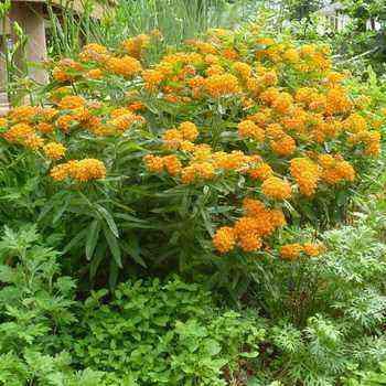 Weigela ornamental shrub: species and varieties