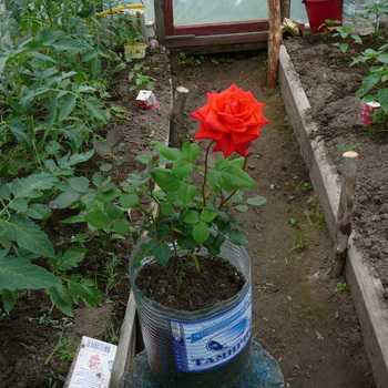 Agrotechnics of growing roses and caring for them