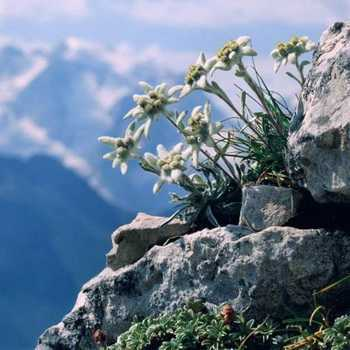 Flowers growing in the mountains planting and care, cultivation