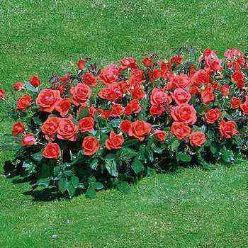 Floribunda group roses with a description of the best varieties