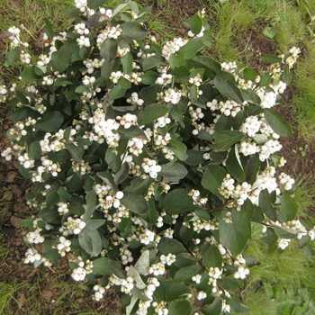 Snowberry: description and cultivation in the garden