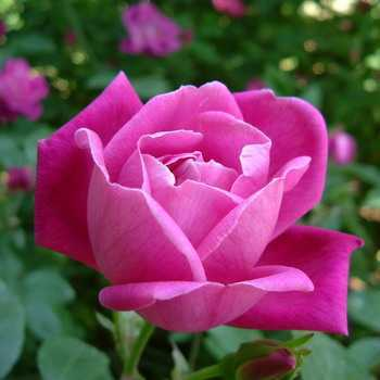 Names and descriptions of rose flowers with photo planting and care, cultivation