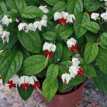Clerodendrum: species and varieties, problems in growing