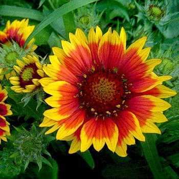 Gaillardia: types and varieties of flowers, plant reproduction