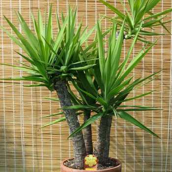 Yucca: growing and caring for home and garden