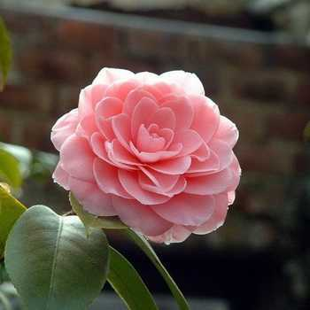 Home camellia: what it looks like and how to care for