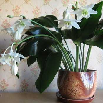 Eucharis (Amazonian lily): description and care when growing