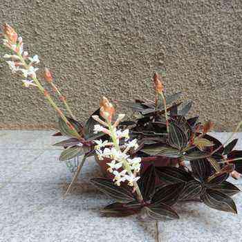 Precious ludisia orchid: main varieties, breeding tips