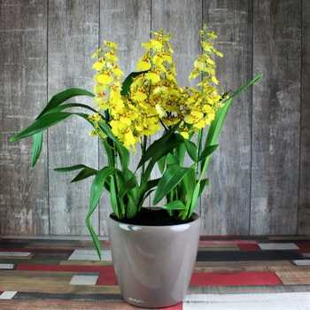 Orchid oncidium: the best species, tips for content