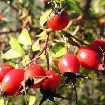 Rosehip: botanical description, care and cultivation