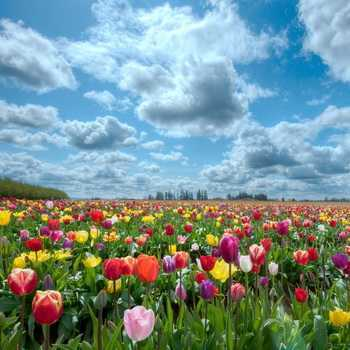 Tulips: description of flowers and their cultivation