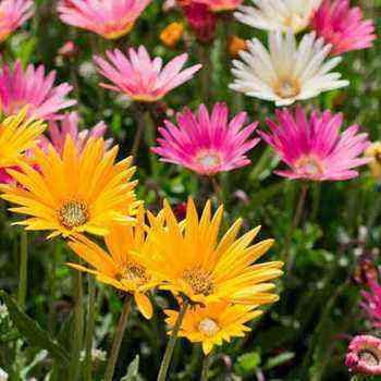 Chubushnik (garden jasmine): types, planting and care