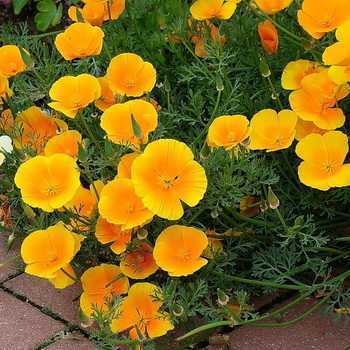 Eschsholzia: features of growing a flower in the open field
