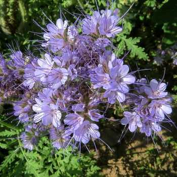 Phacelia: plant features, tips for growing
