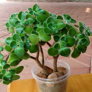 Eonium: popular types and rules of care