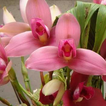 Types of lycast, orchid cultivation at home