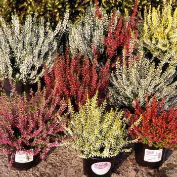 Decorative heather: care and cultivation, the best varieties