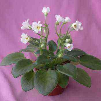 Saintpaulia (uzambara violet): what it looks like and how to grow