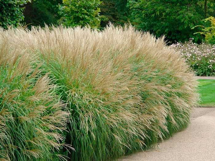 Miscanthus planting and care, cultivation