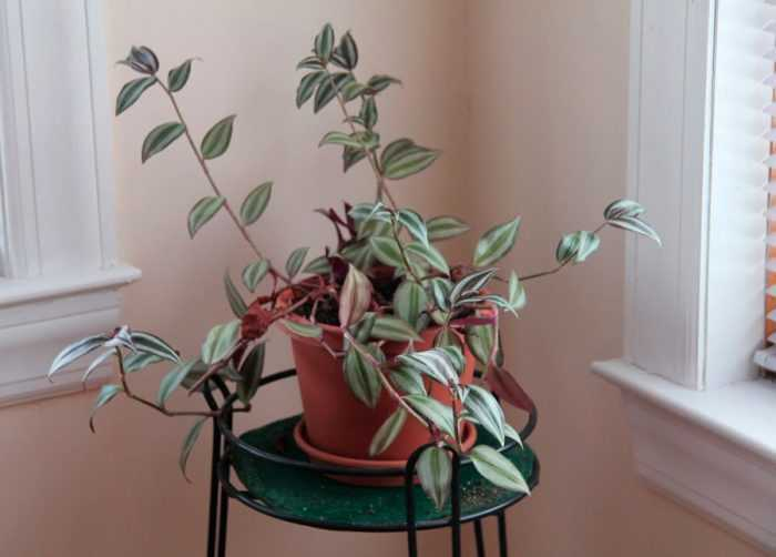 Zebrina care how to grow at home