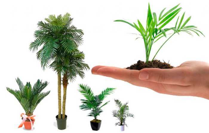 Indoor palm – care how to grow at home