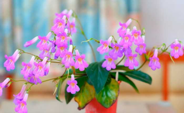 Primulina care how to grow at home
