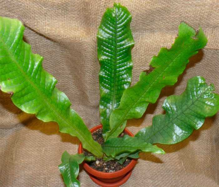 Microsorum care how to grow at home