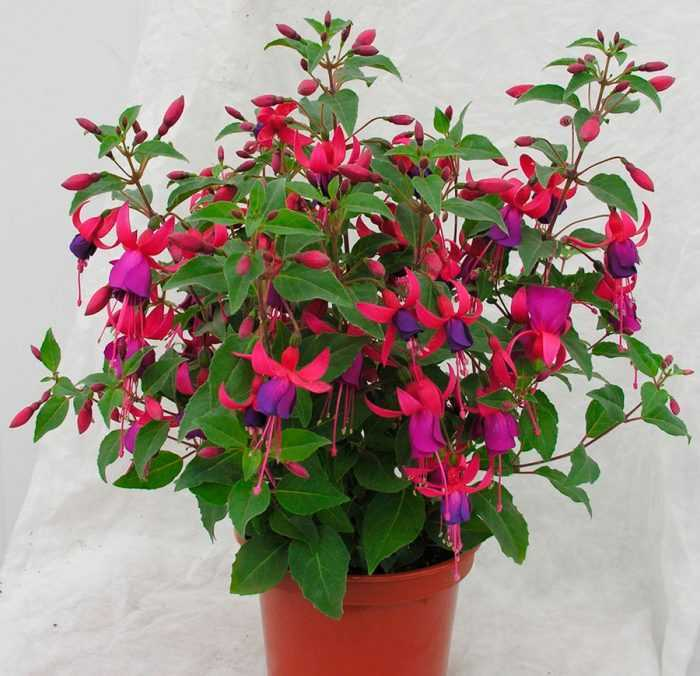 Fuchsia care how to grow at home