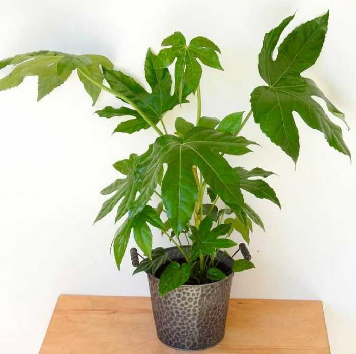 Fatsia care how to grow at home