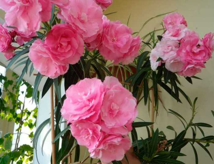 Oleander care how to grow at home