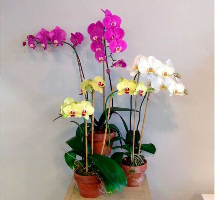 Phalaenopsis Orchid care how to grow at home