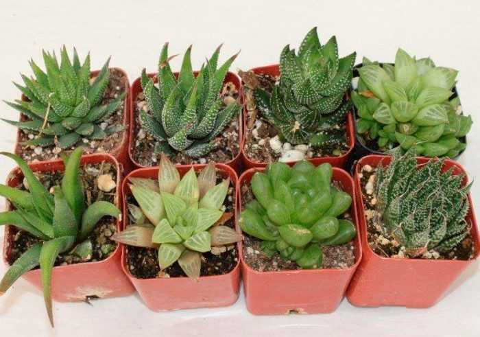Havortia care how to grow at home