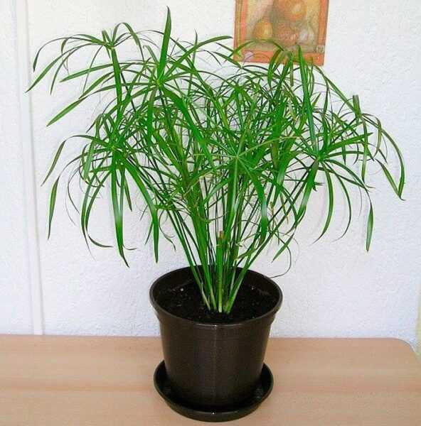 Tsiperus care how to grow at home