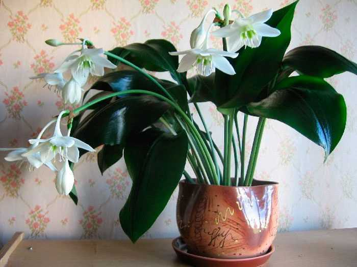 Eucharis (Amazonian lily) care how to grow at home