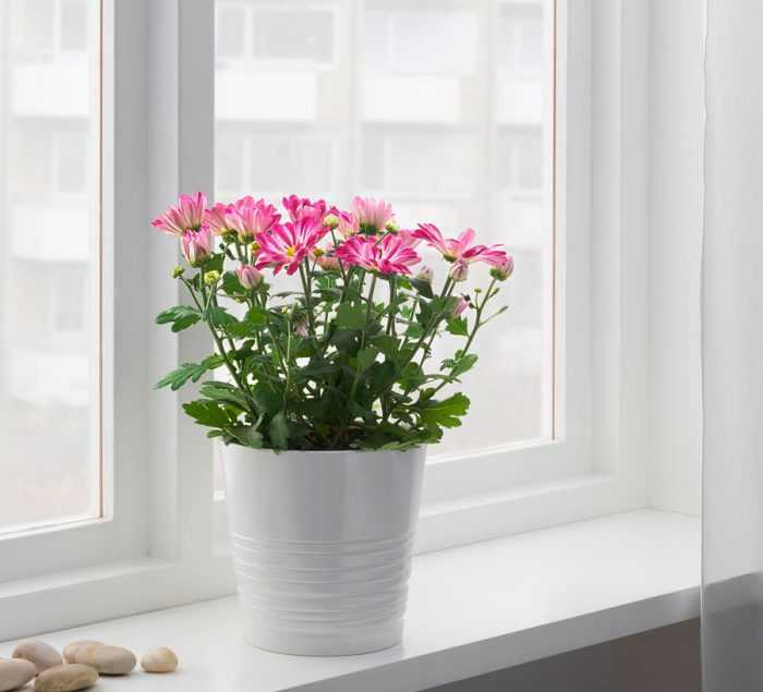 Home chrysanthemum care how to grow at home