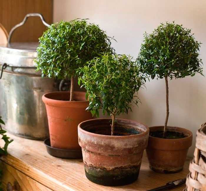 Myrtle (myrtle tree) care how to grow at home