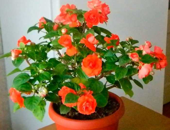 Balsam room care how to grow at home