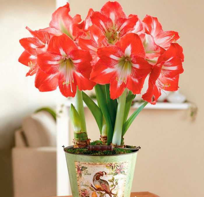 Hyppeastrum care how to grow at home