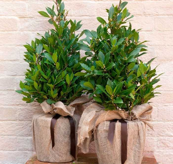 Laurus care how to grow at home