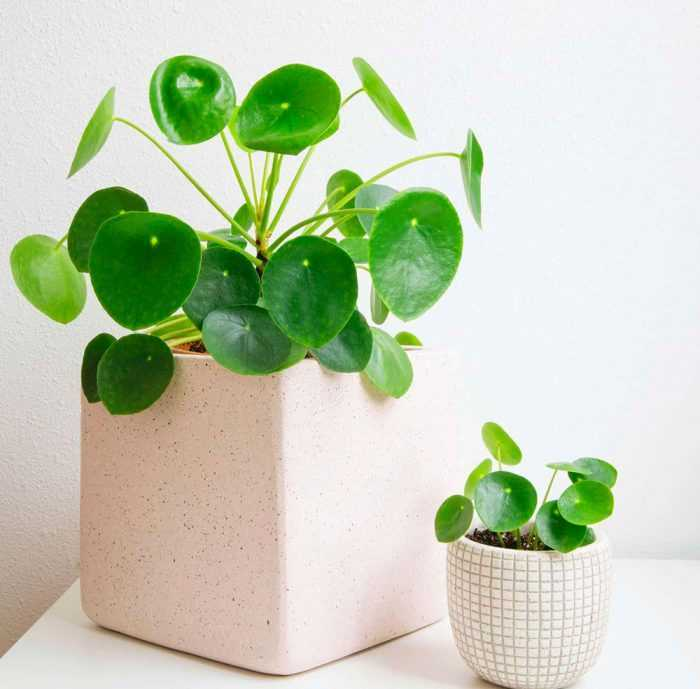 Pylae care how to grow at home