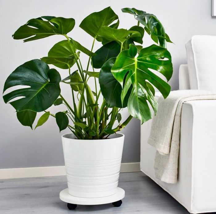 Monstera care how to grow at home