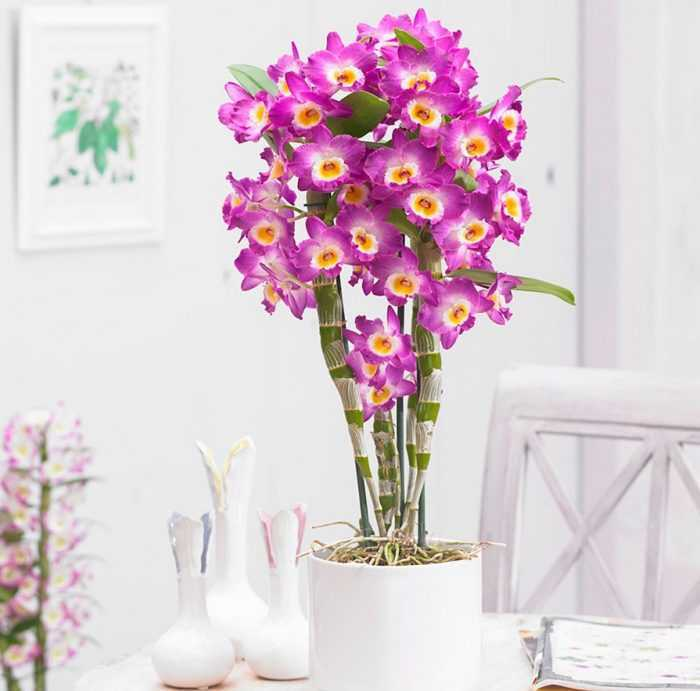 Dendrobium Orchid care how to grow at home