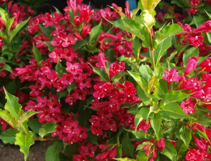 Weigela: planting and care in the open field