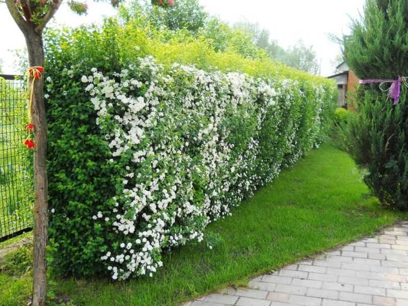 Do-it-yourself hedge in the country: rules for planting, growing and care