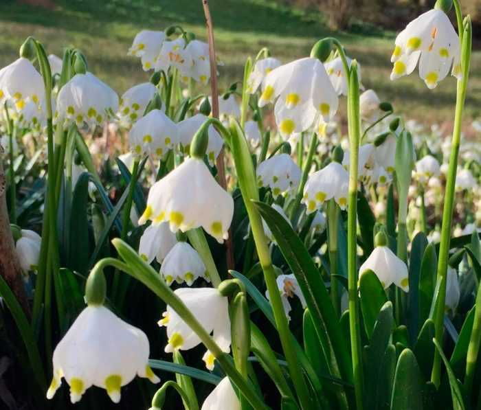 White-flower planting and care, cultivation