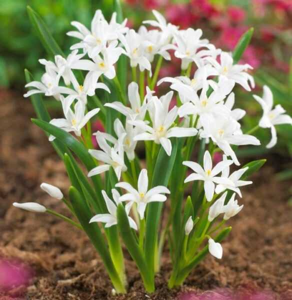 Chionodox planting and care, cultivation