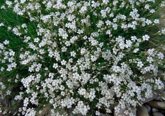 Gypsophila planting and care, cultivation